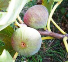 Figs, fresh or dried